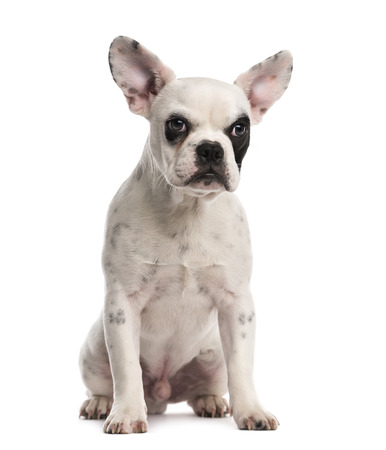 french bulldog puppy: French Bulldog puppy (6 months old) Stock Photo