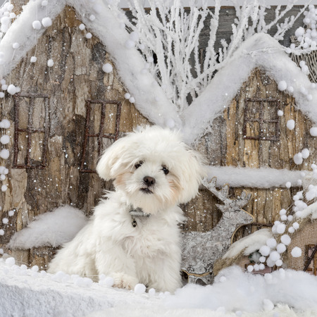 bichon: Maltese in front of a Christmas scenery Stock Photo
