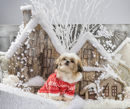 tzu: Shih Tzu in front of a Christmas scenery