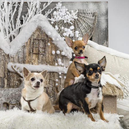 large group of animals: Chihuahuas in front of a Christmas scenery Stock Photo
