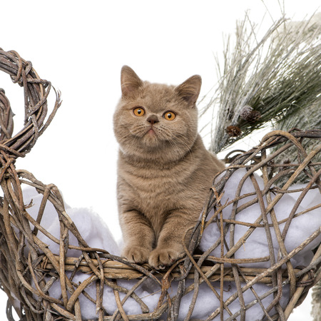 british shorthair: British shorthair in front of a Christmas scenery