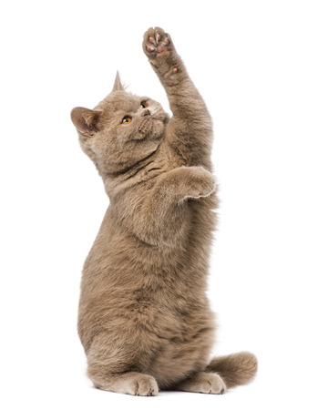 british shorthair: British shorthair pawing up Stock Photo