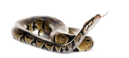 ball python: Ball python Stock Photo