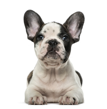 bulldog puppy: French Bulldog puppy