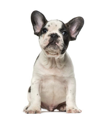 french bulldog puppy: French Bulldog puppy