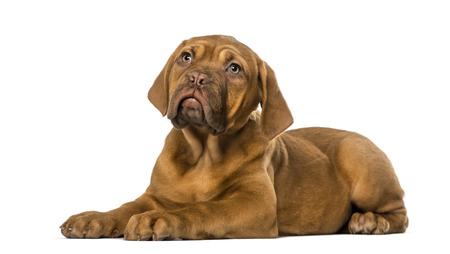 dogue: Dogue de Bordeaux puppy Stock Photo
