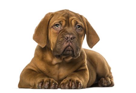 dogue de bordeaux: Dogue de Bordeaux puppy Stock Photo