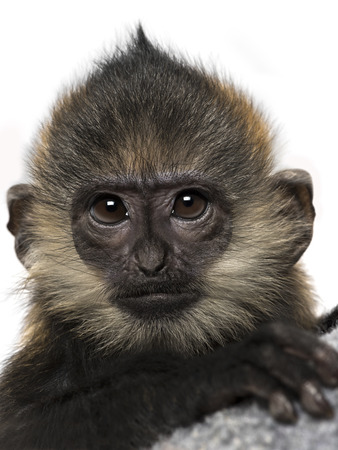 jeopardy: Close-up of a baby Francois Langur (4 months) Stock Photo