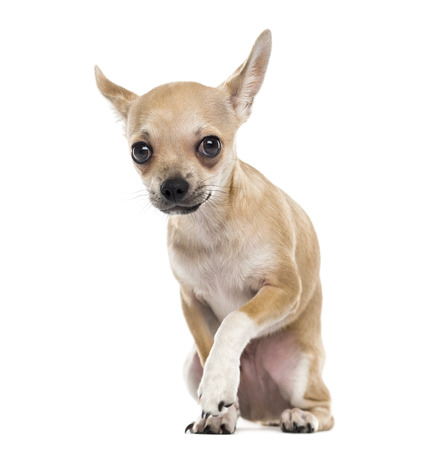submissiveness: Scared chihuahua