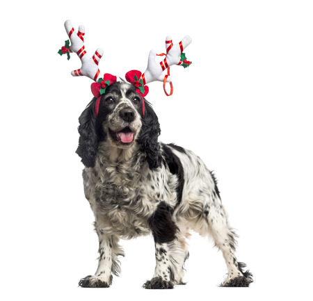 english cocker spaniel: English Cocker Spaniel (12 years old) wearing a reindeer headband