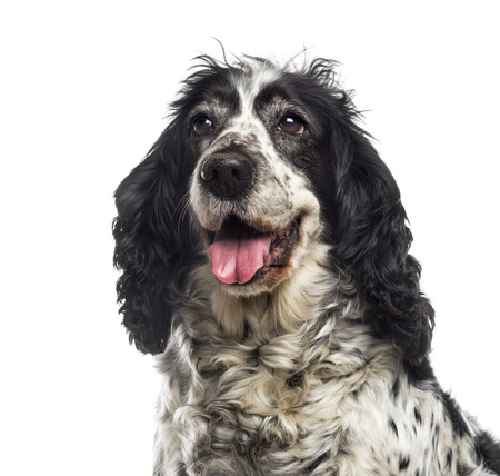 english cocker spaniel: Close-up of an English Cocker Spaniel (12 years old) Stock Photo