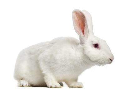 7 months: White rabbit (7 months old)