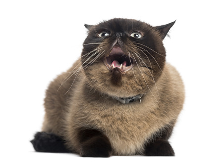 2 years old: Agressive Persian (2 years old) Stock Photo