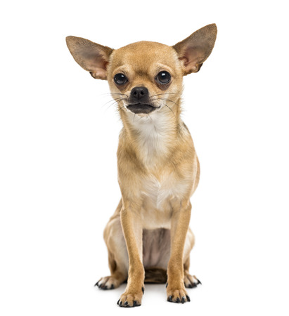 cane chihuahua: Chihuahua