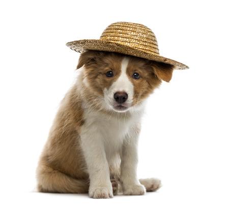 perros vestidos: Border Collie cachorro que llevaba un sombrero de paja Foto de archivo