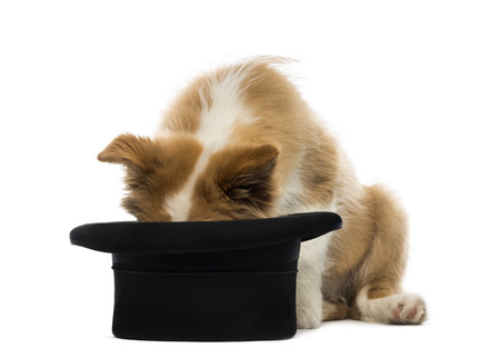 border collie puppy: Border Collie puppy looking into a top hat