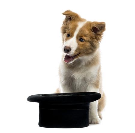 border collie puppy: Border Collie puppy sitting behind a top hat