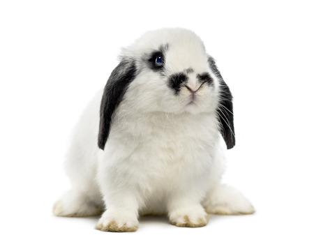 lop: lop rabbit