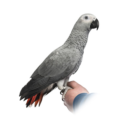 african grey parrot: African Grey Parrot perched on a hand