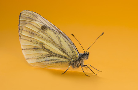 pieris: Green-veined white, Pieris napi, in front of an orange background