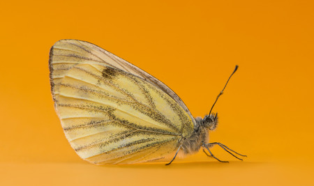 pieris: Green-veined white, Pieris napi, in front of an orange