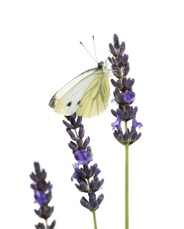 pieris: Large white, Pieris brassicae, on a lavander in front of a white  Stock Photo