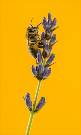 foraging: Honey bee foraging on a lavender in front of an orange