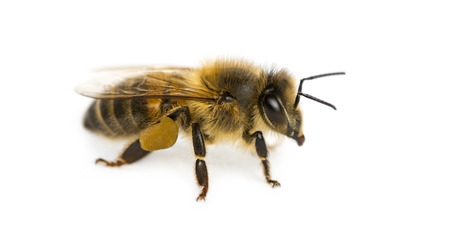mellifera: Honey bee in front of a white background Stock Photo
