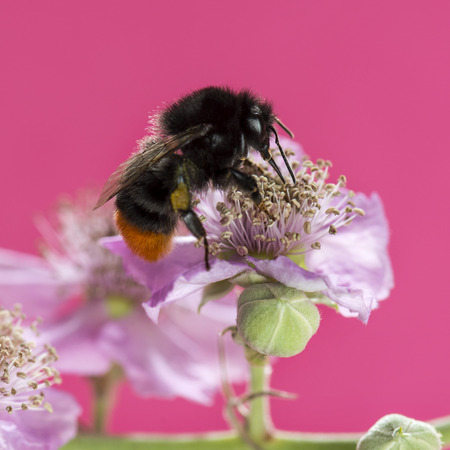 bombus: Red-tailed bumblebee, Bombus lapidarius, foraging on a flower in front of a pink