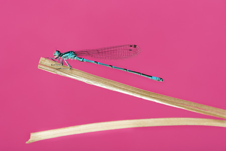 damselfly: Azure damselfly, Coenagrion puella, on a straw in front of a pink