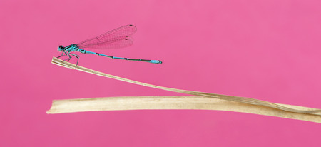 damselfly: Azure damselfly, Coenagrion puella, on a straw in front of a pink background Stock Photo
