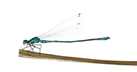 damselfly: Azure damselfly, Coenagrion puella, on a straw in front of a white
