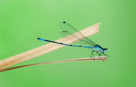 damselfly: Azure damselfly, Coenagrion puella, on a straw in front of a green