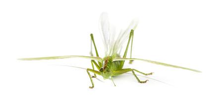 Female Great Green Bush-Cricket, Ettigonia viridissima in front of a white background photo