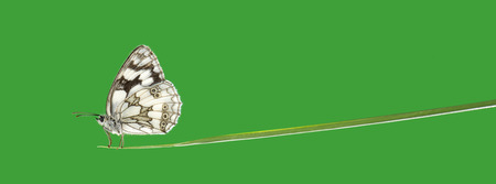 vegetal: Marbled white, Melanargia galathea, on a blade of grass in front of a green