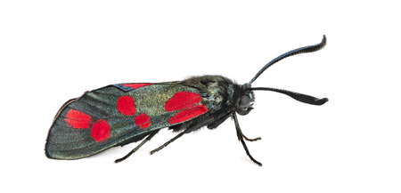 zygaena: Six-spot burnet, Zygaena filipendulae in front of a white