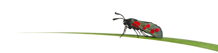 zygaena: Six-spot burnet, Zygaena filipendulae, on a blade of grass in front of a white