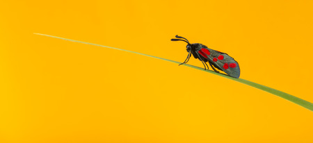 zygaena: Six-spot burnet, Zygaena filipendulae, on a blade of grass in front of an orange background