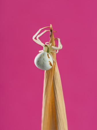 vatia: Ragno dorato del granchio, Misumena vatia, su un filo d'erba di fronte di una rosa