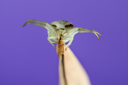 misumena: Golden Crab Spider, Misumena vatia, on a blade of grass in front of a purple