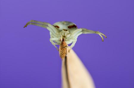 vatia: Golden Crab Spider, Misumena vatia, on a blade of grass in front of a purple