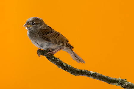 domesticus: House Sparrow, Passer domesticus, perched on a branch in front of an orange