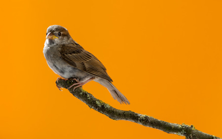 domesticus: House Sparrow, Passer domesticus, perched on a branch in front of an orange background Stock Photo