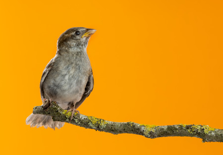 passer    by: House Sparrow, Passer domesticus, perched on a branch in front of an orange