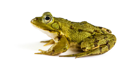 green frog: Common Water Frog in front of a white