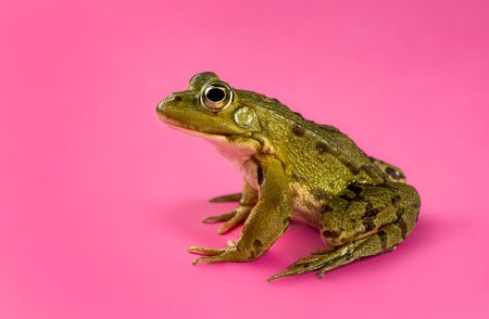 black and pink: Common Water Frog in front of a pink  Stock Photo