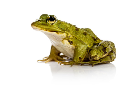 amphibia: Common Water Frog in front of a white