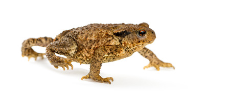 bufo bufo: European toad, bufo bufo, in front of a white