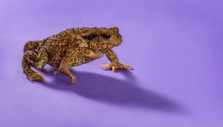 amphibia: European toad, bufo bufo, in front of a purple background