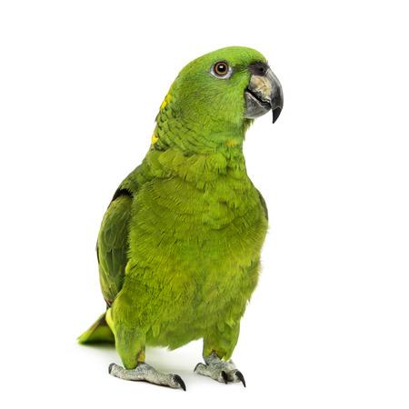 green parrot: Yellow-naped amazon, Amazona auropalliata, in front of a white  Stock Photo
